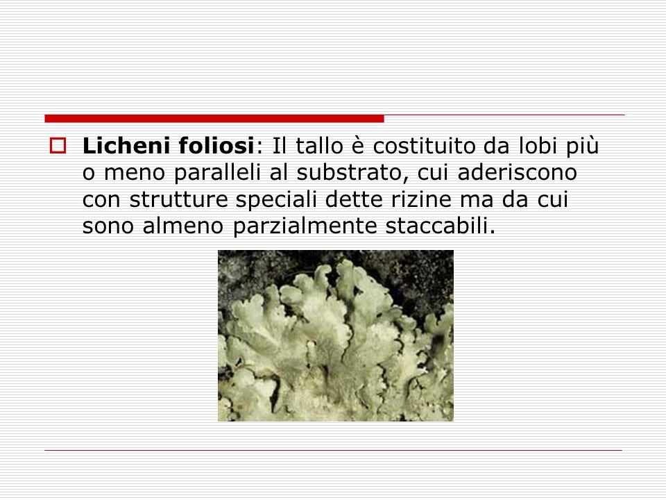 Licheni foliosi: Il tallo è costituito da lobi più o meno paralleli al substrato, cui aderiscono con strutture speciali dette rizine ma da cui sono al