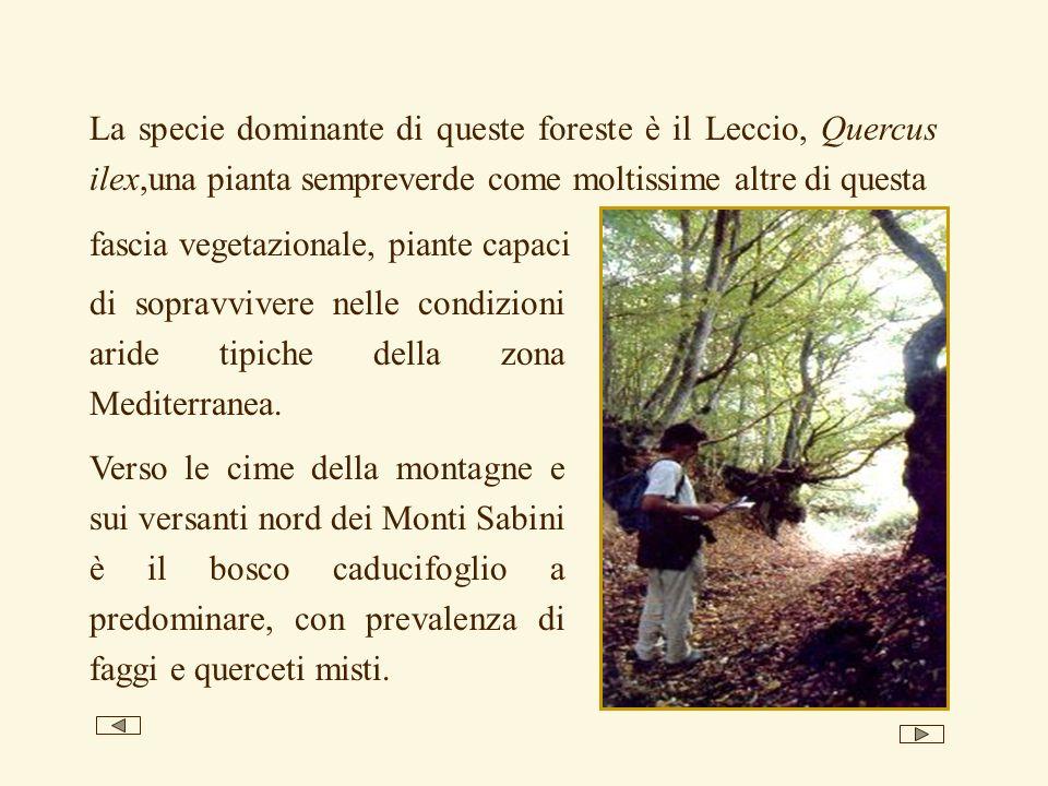 La specie dominante di queste foreste è il Leccio, Quercus ilex,una pianta sempreverde come moltissime altre di questa di sopravvivere nelle condizion