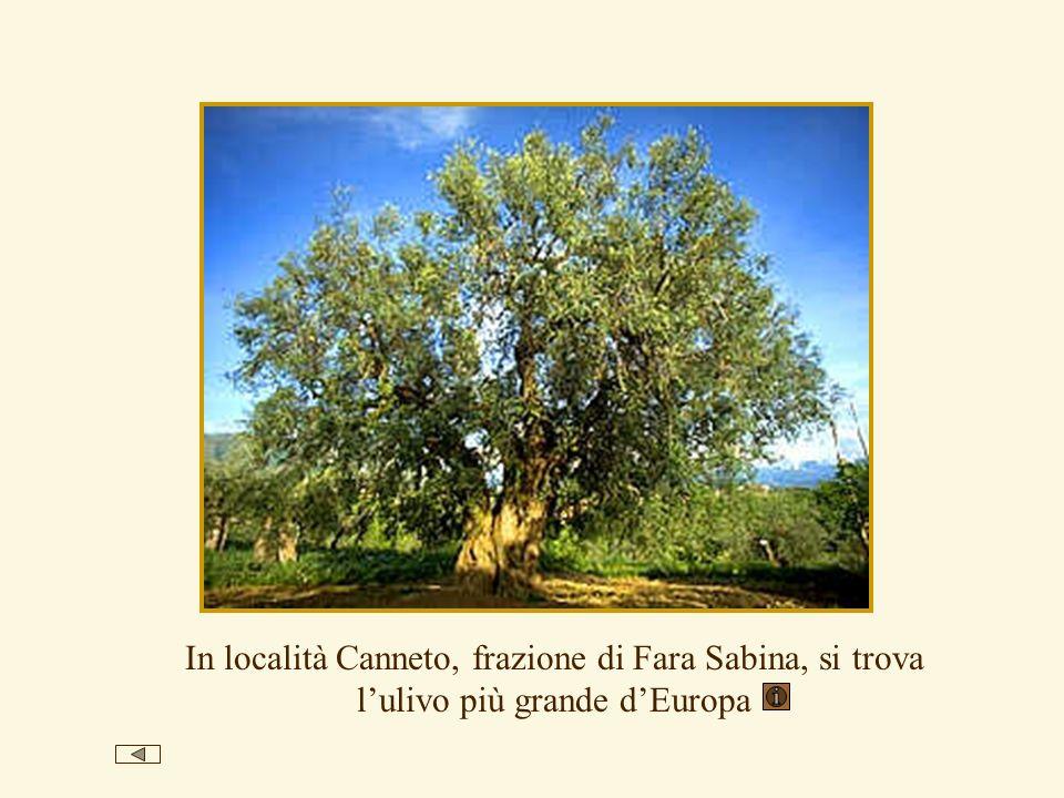 In località Canneto, frazione di Fara Sabina, si trova lulivo più grande dEuropa