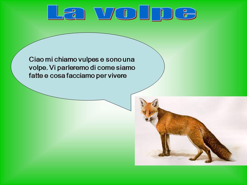 Come è fatta una volpe.La volpe è un animale di medie dimensioni (lunga da 65 a75 cm).