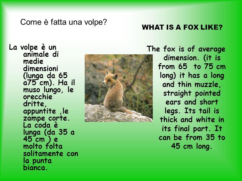 Come è fatta una volpe? La volpe è un animale di medie dimensioni (lunga da 65 a75 cm). Ha il muso lungo, le orecchie dritte, appuntite,le zampe corte