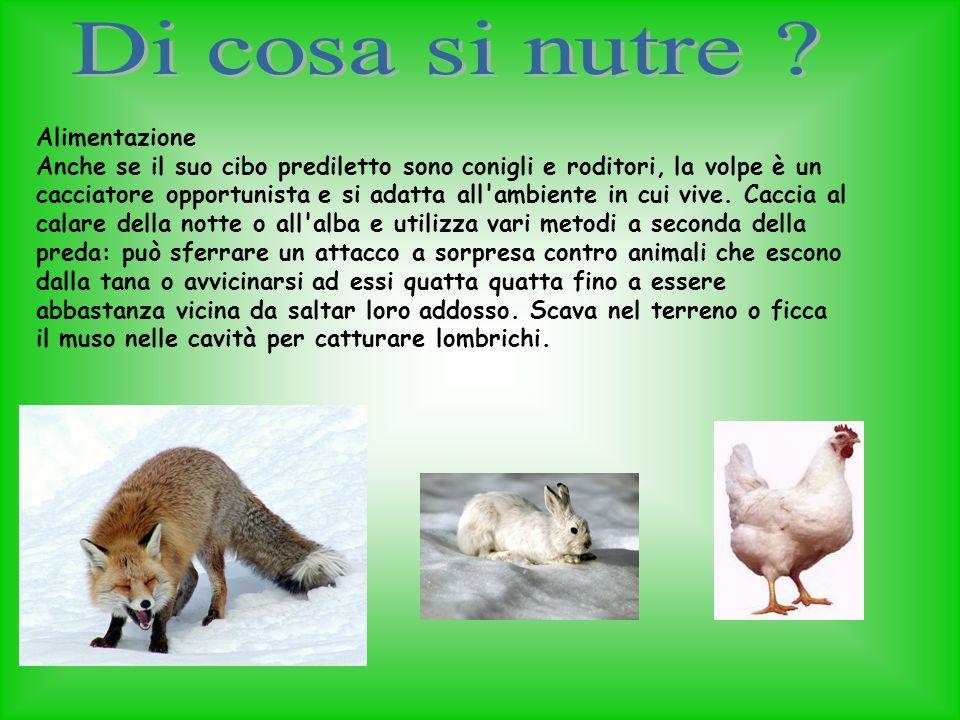 Alimentazione Anche se il suo cibo prediletto sono conigli e roditori, la volpe è un cacciatore opportunista e si adatta all'ambiente in cui vive. Cac