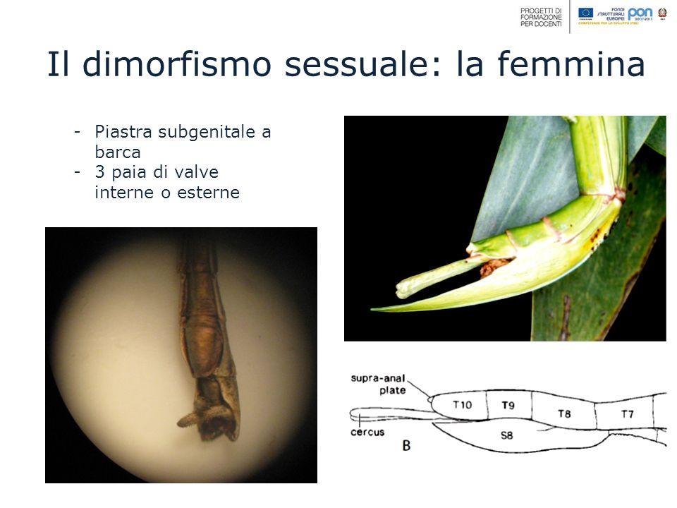 -Piastra subgenitale a barca -3 paia di valve interne o esterne Il dimorfismo sessuale: la femmina