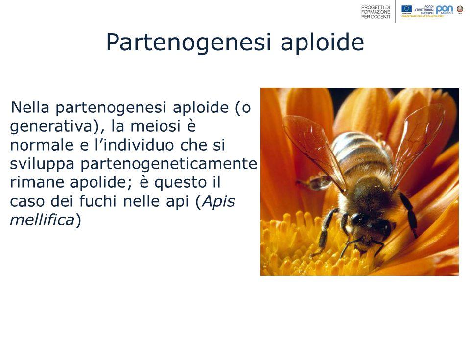 Nella partenogenesi aploide (o generativa), la meiosi è normale e lindividuo che si sviluppa partenogeneticamente rimane apolide; è questo il caso dei