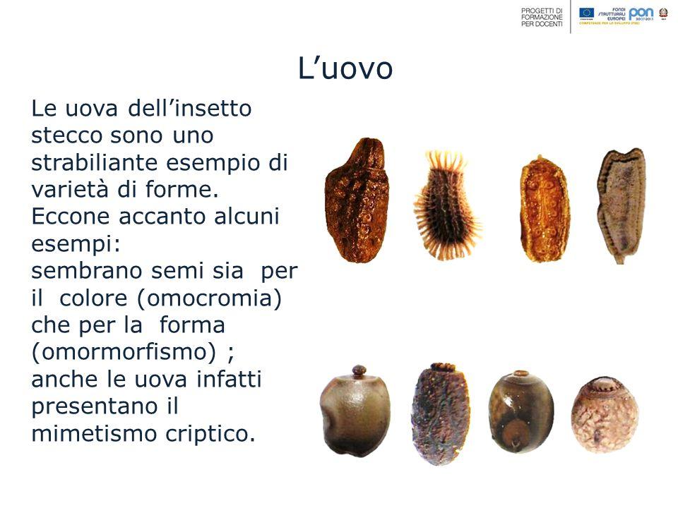 Le uova dellinsetto stecco sono uno strabiliante esempio di varietà di forme. Eccone accanto alcuni esempi: sembrano semi sia per il colore (omocromia