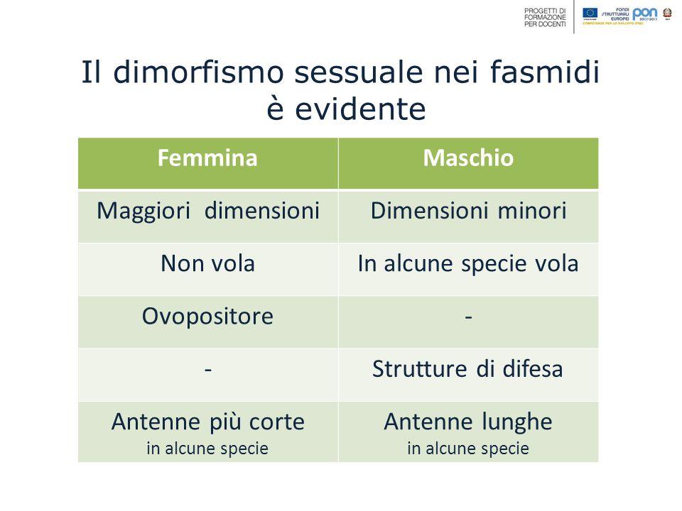Il dimorfismo sessuale nei fasmidi è evidente FemminaMaschio Maggiori dimensioniDimensioni minori Non volaIn alcune specie vola Ovopositore- -Struttur