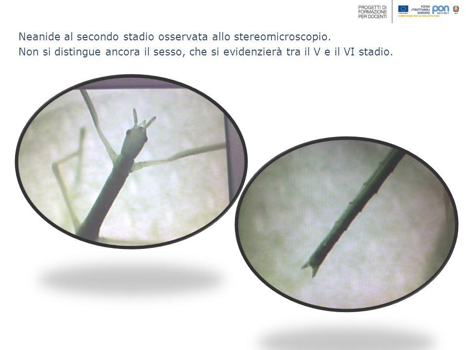 Neanide al secondo stadio osservata allo stereomicroscopio. Non si distingue ancora il sesso, che si evidenzierà tra il V e il VI stadio.