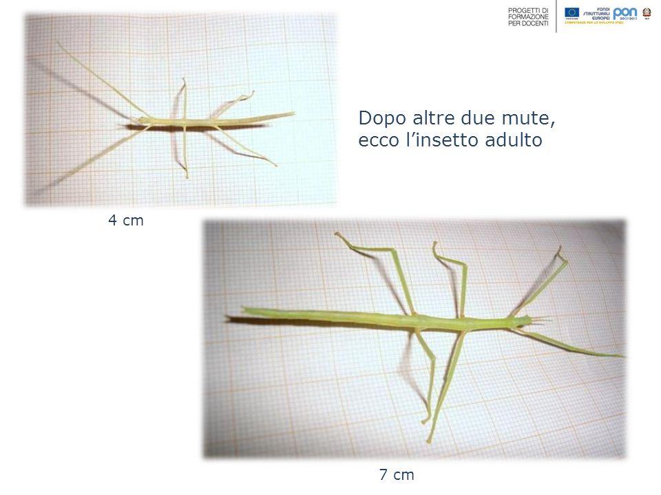 Dopo altre due mute, ecco linsetto adulto 4 cm 7 cm