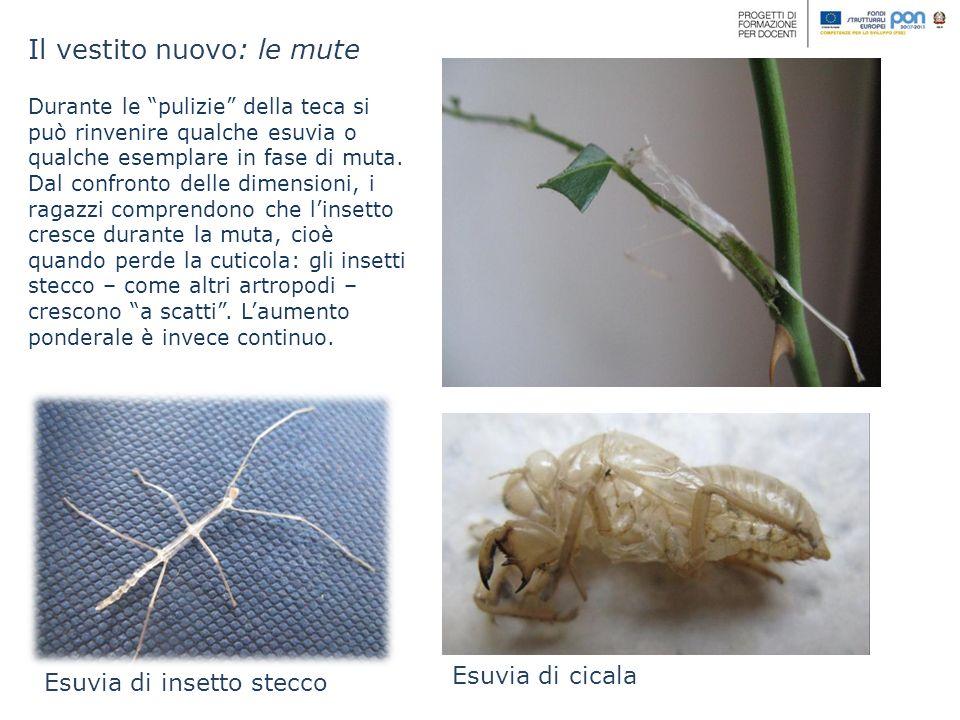 Il vestito nuovo: le mute Esuvia di insetto stecco Durante le pulizie della teca si può rinvenire qualche esuvia o qualche esemplare in fase di muta.