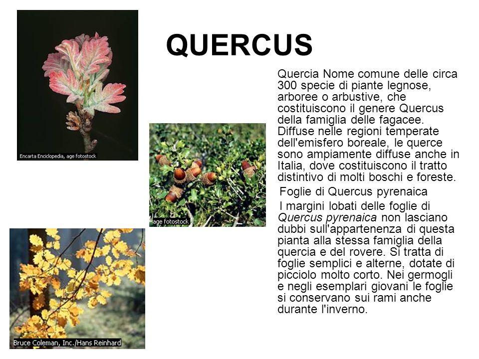 QUERCUS Quercia Nome comune delle circa 300 specie di piante legnose, arboree o arbustive, che costituiscono il genere Quercus della famiglia delle fa