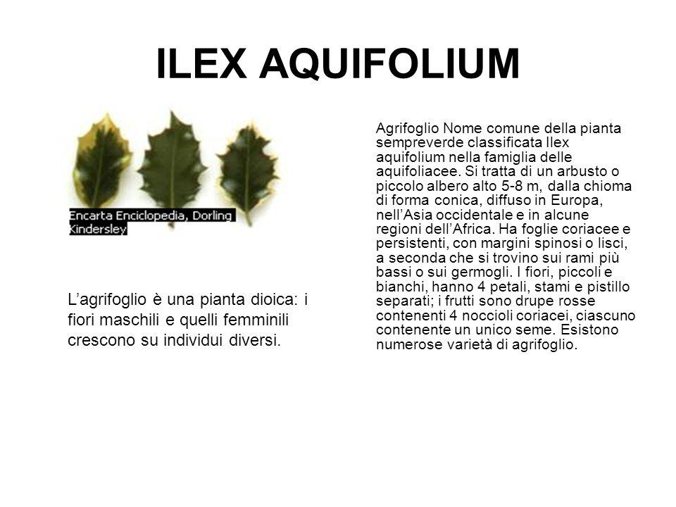 ILEX AQUIFOLIUM Agrifoglio Nome comune della pianta sempreverde classificata Ilex aquifolium nella famiglia delle aquifoliacee. Si tratta di un arbust