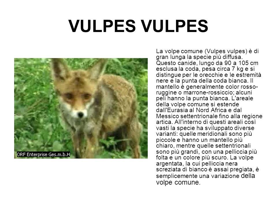 VULPES La volpe comune (Vulpes vulpes) è di gran lunga la specie più diffusa. Questo canide, lungo da 90 a 105 cm esclusa la coda, pesa circa 7 kg e s
