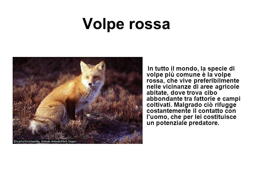 Volpe rossa In tutto il mondo, la specie di volpe più comune è la volpe rossa, che vive preferibilmente nelle vicinanze di aree agricole abitate, dove