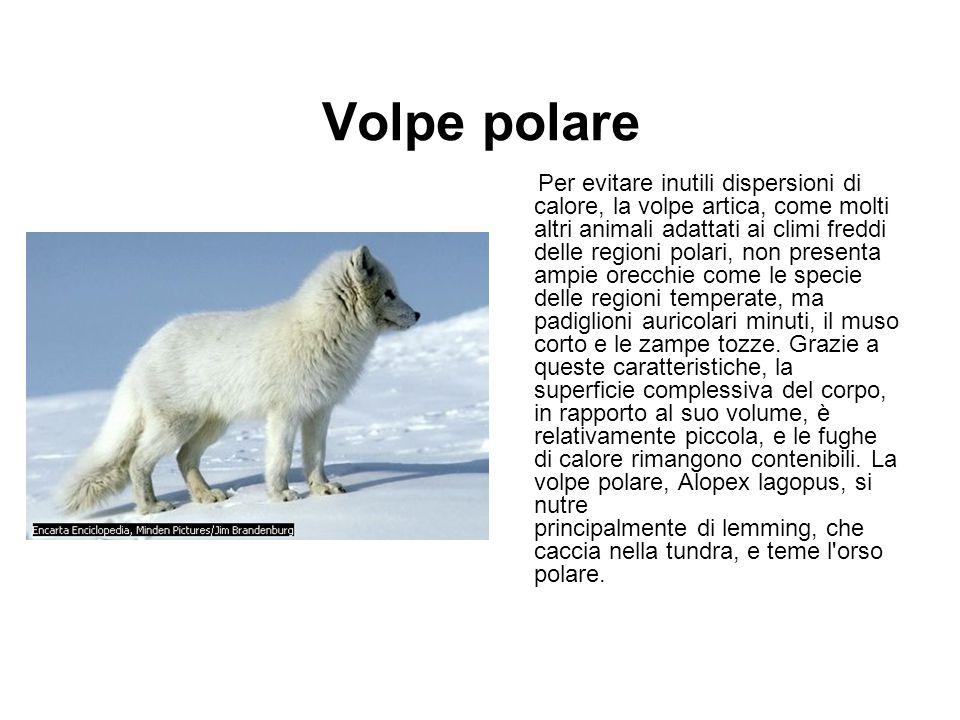 Volpe polare Per evitare inutili dispersioni di calore, la volpe artica, come molti altri animali adattati ai climi freddi delle regioni polari, non p