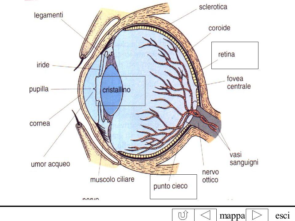 mappaesci ghiandola lacrimale pupilla ciglia palpebra iride cristallino nervo ottico retina fotorecettori conibastoncelli Funzionamento Perché due occ