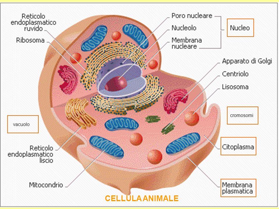 cromosomi vacuolo CELLULA ANIMALE