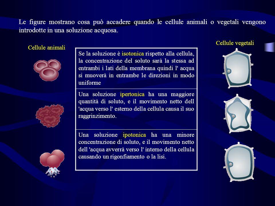 Le figure mostrano cosa può accadere quando le cellule animali o vegetali vengono introdotte in una soluzione acquosa. Se la soluzione è isotonica ris