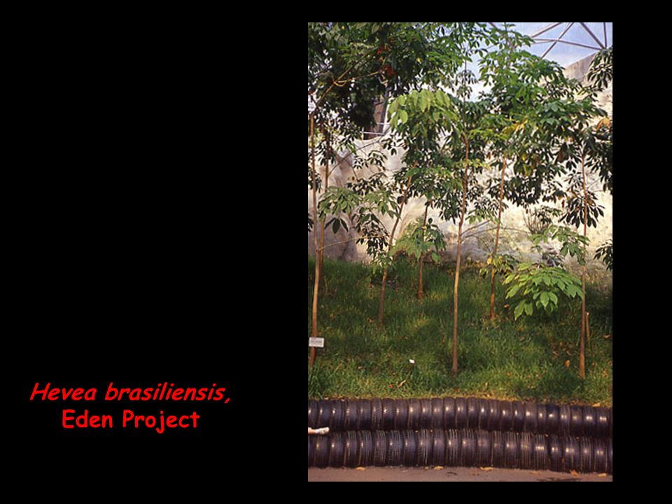 Hevea brasiliensis, Eden Project