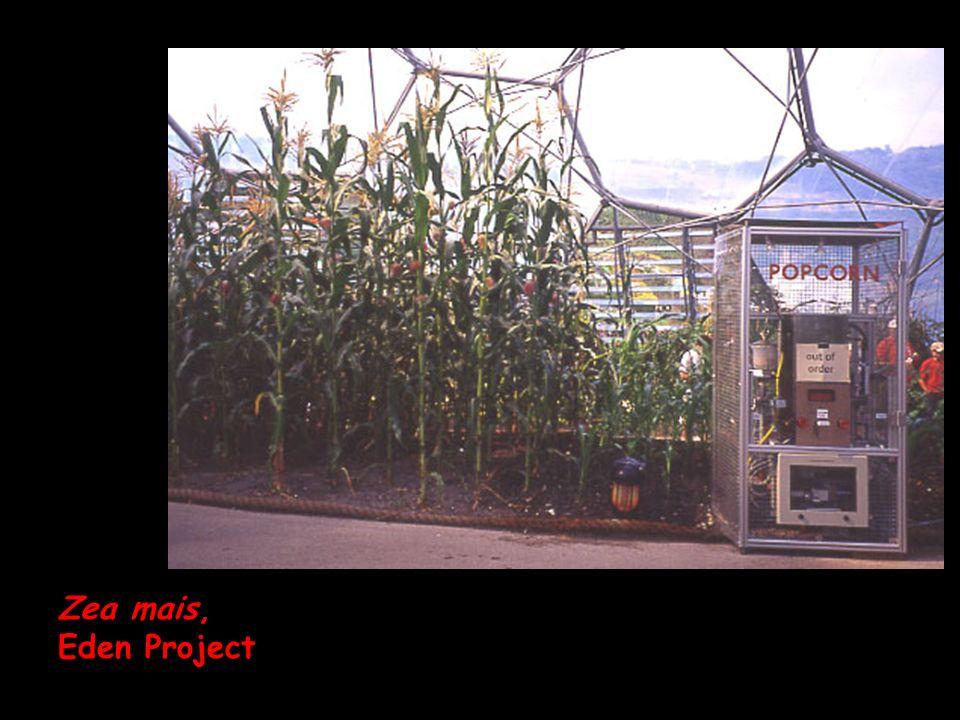 Zea mais, Eden Project