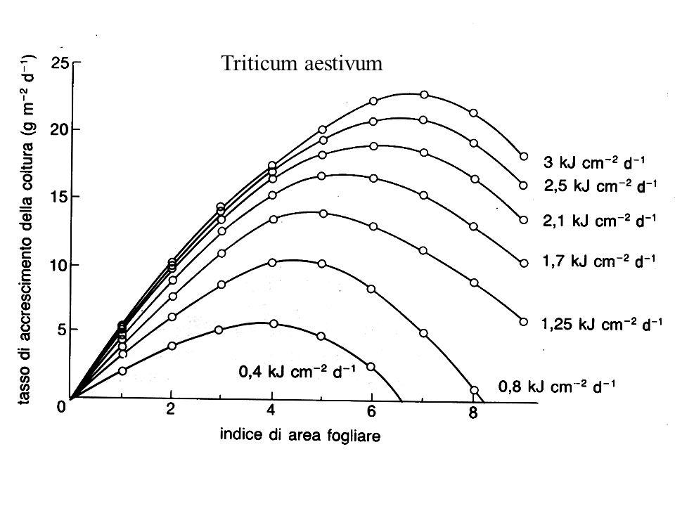 Triticum aestivum