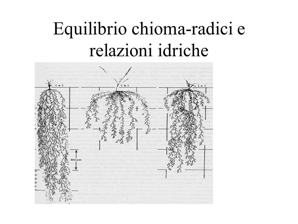 Equilibrio chioma-radici e relazioni idriche