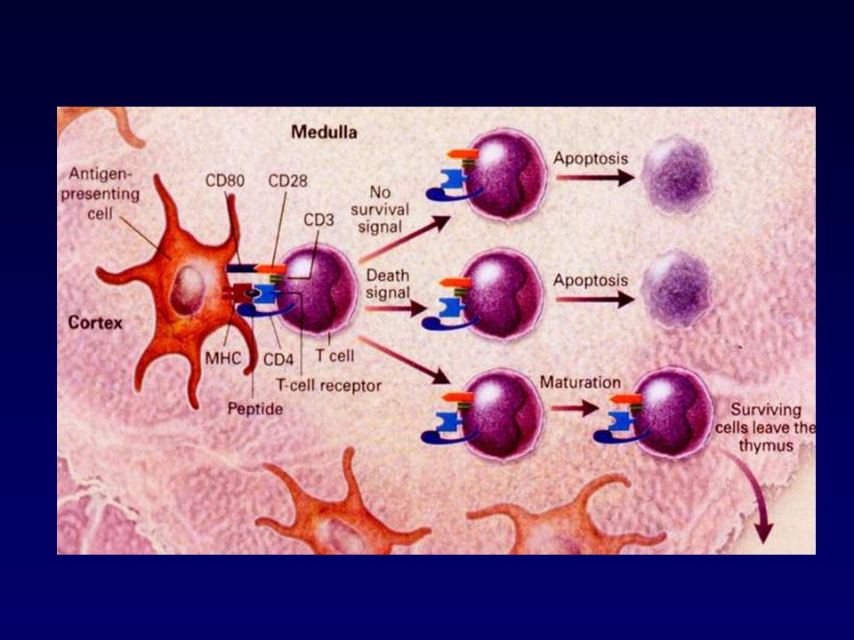 Costimoli da cellule morenti o stressate Apoptosi fisiologica segnali tolerogeni TGF + TNF Necrosi cellulare antigeni + HSP 96 e HSP 70 Cell dendritica B7 TNF