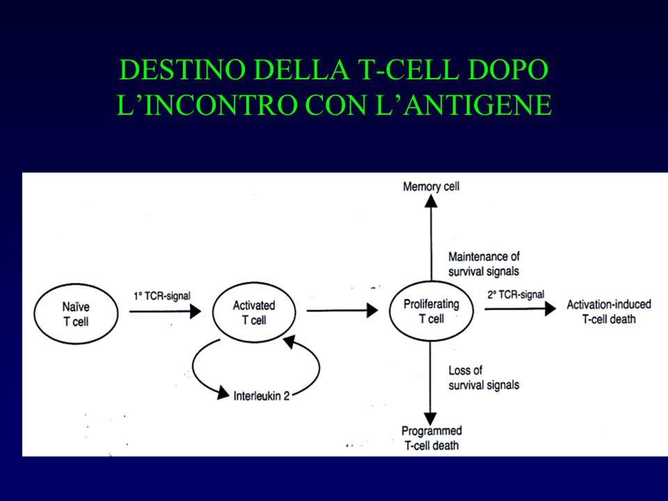 DESTINO DELLA T-CELL DOPO LINCONTRO CON LANTIGENE