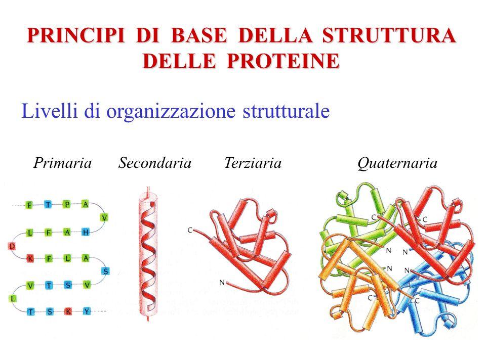 PRINCIPI DI BASE DELLA STRUTTURA DELLE PROTEINE Gli elementi di struttura secondaria C N Foglietto -elica