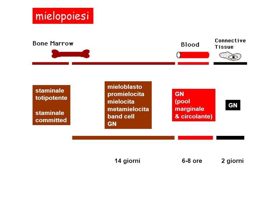 mielopoiesi staminale totipotente staminale committed mieloblasto promielocita mielocita metamielocita band cell GN 14 giorni GN (pool marginale & cir