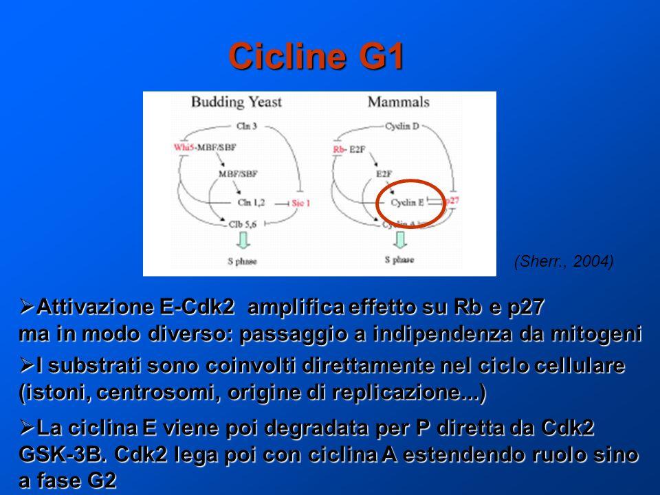 Cicline G1 Attivazione E-Cdk2 amplifica effetto su Rb e p27 Attivazione E-Cdk2 amplifica effetto su Rb e p27 ma in modo diverso: passaggio a indipende