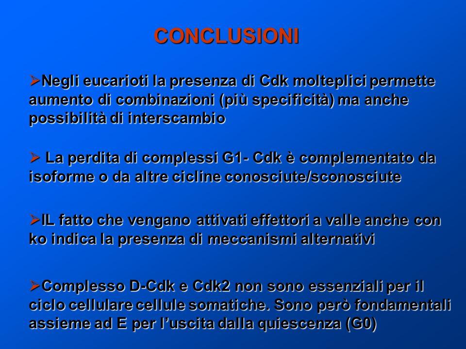 CONCLUSIONI Negli eucarioti la presenza di Cdk molteplici permette Negli eucarioti la presenza di Cdk molteplici permette aumento di combinazioni (più
