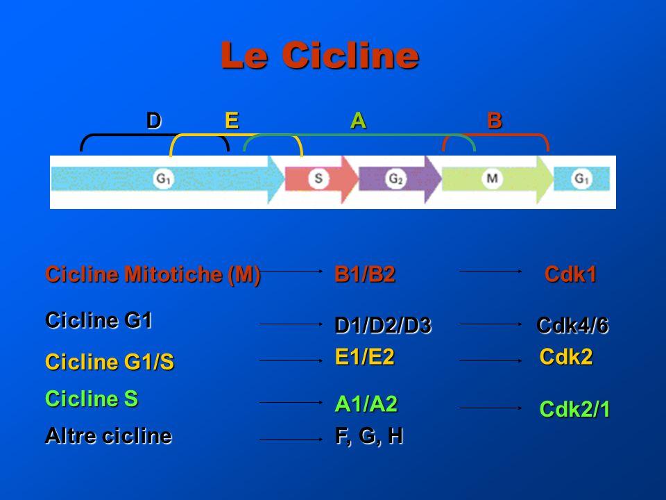 Le Cicline Cicline Mitotiche (M) B1/B2 Cdk1 D1/D2/D3 Cdk4/6 D1/D2/D3 Cdk4/6 E1/E2Cdk2 Altre cicline Cicline G1 A1/A2 A1/A2 Cdk2/1 F, G, H BDEA Cicline