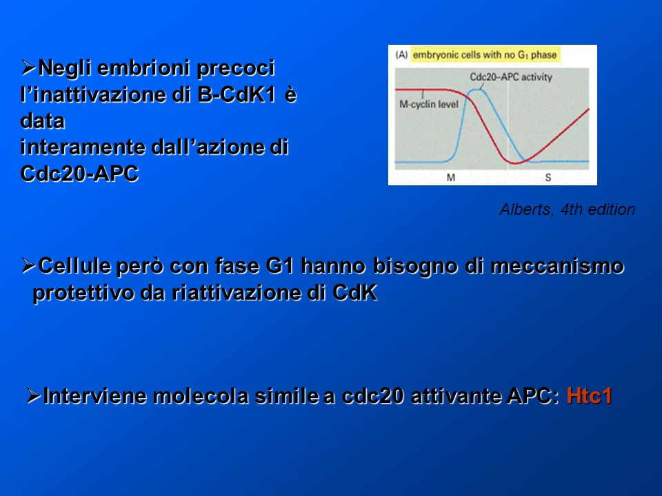 Negli embrioni precoci linattivazione di B-CdK1 è data Negli embrioni precoci linattivazione di B-CdK1 è data interamente dallazione di Cdc20-APC Cell