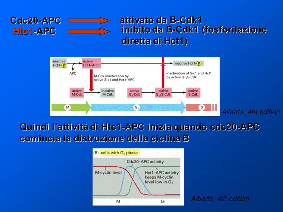 Quindi lattività di Htc1-APC inizia quando cdc20-APC comincia la distruzione della ciclina B Cdc20-APC attivato da B-Cdk1 Htc1-APC inibito da B-Cdk1 (