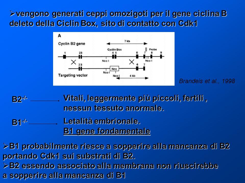 vengono generati ceppi omozigoti per il gene ciclina B vengono generati ceppi omozigoti per il gene ciclina B deleto della Ciclin Box, sito di contatt