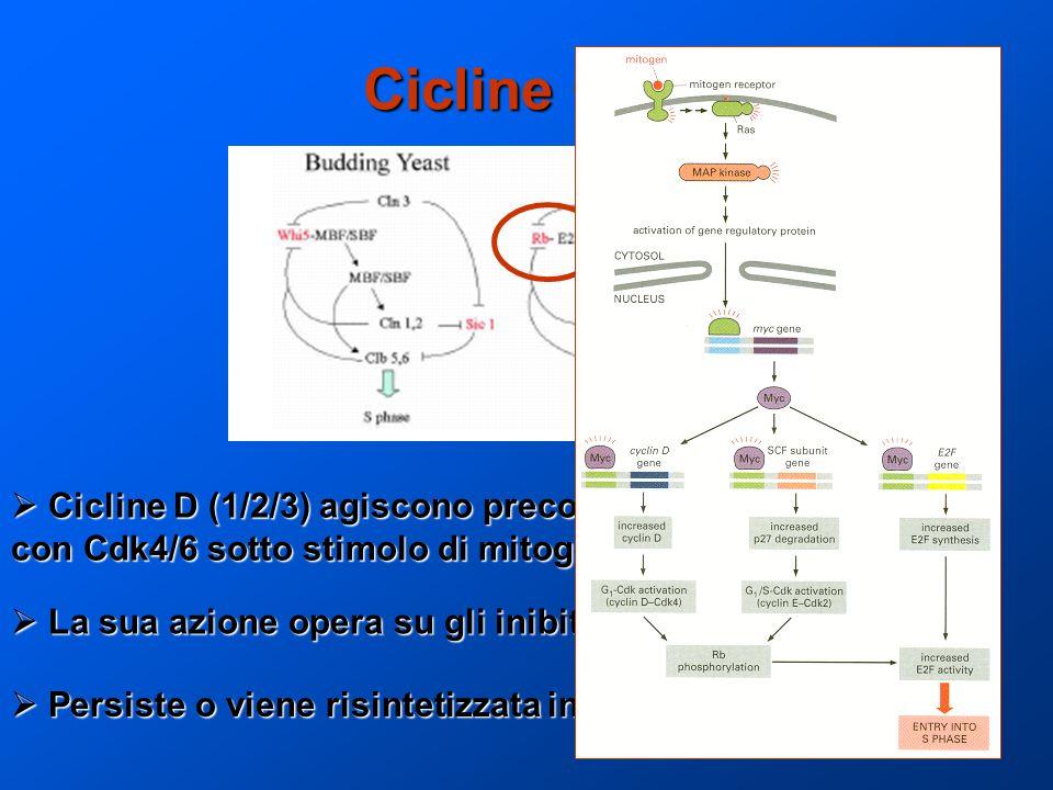 Cicline G1 Cicline D (1/2/3) agiscono precocemente complessando Cicline D (1/2/3) agiscono precocemente complessando con Cdk4/6 sotto stimolo di mitog