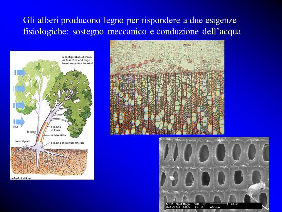 Gli alberi producono legno per rispondere a due esigenze fisiologiche: sostegno meccanico e conduzione dellacqua