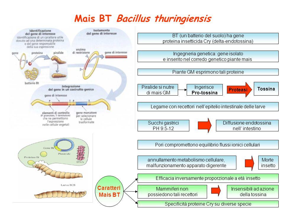 Mais BT Bacillus thuringiensis BT (un batterio del suolo) ha gene proteina insetticida Cry (delta-endotossina) Piante GM esprimono tali proteine Ingeg