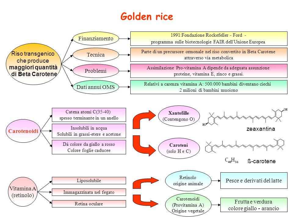Golden rice Relativi a carenza vitamina A: 500.000 bambini diventano ciechi 2 milioni di bambini muoiono 1991:Fondazione Rockefeller - Ford - programm