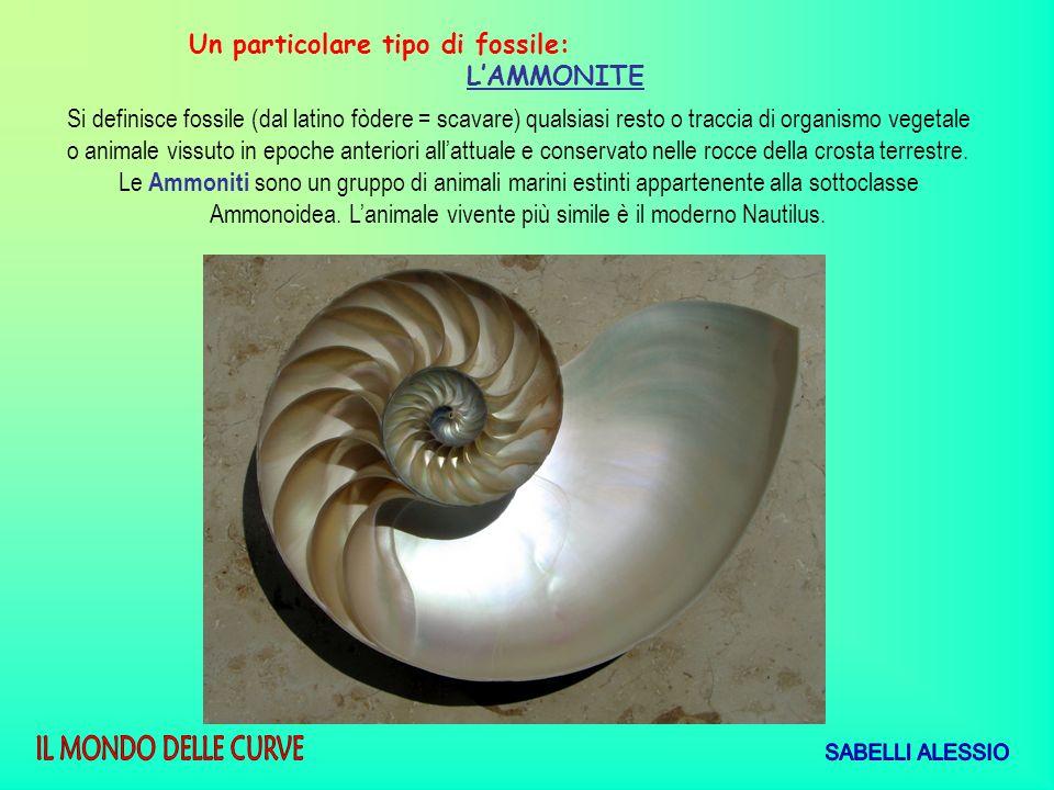 Un particolare tipo di fossile: LAMMONITE Si definisce fossile (dal latino fòdere = scavare) qualsiasi resto o traccia di organismo vegetale o animale