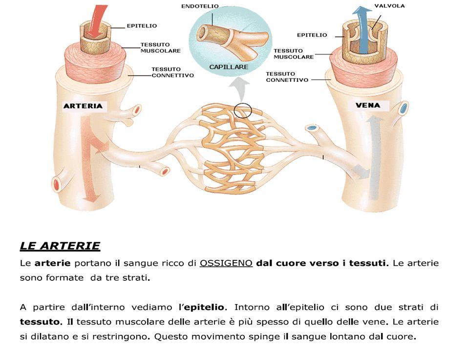 TESSUTI E ORGANI LINFATICI I tessuti del sistema linfatico sono: la milza, i linfonodi, le placche di Peyer, il timo, le tonsille, ed il midollo osseo.milzalinfonodiplacche di Peyermidollo osseo La milza ha la funzione di filtraggio del sangue e la pulizia da forme cellulari alterate (demolisce i globuli rossi e ricicla lemoglobina) e, insieme al timo e midollo osseo, matura il ruolo dei linfociti, che sono un tipo di globuli bianchi.milzalinfocitiglobuli bianchi I linfonodi sono più numerosi nelle zone meno periferiche del corpo.