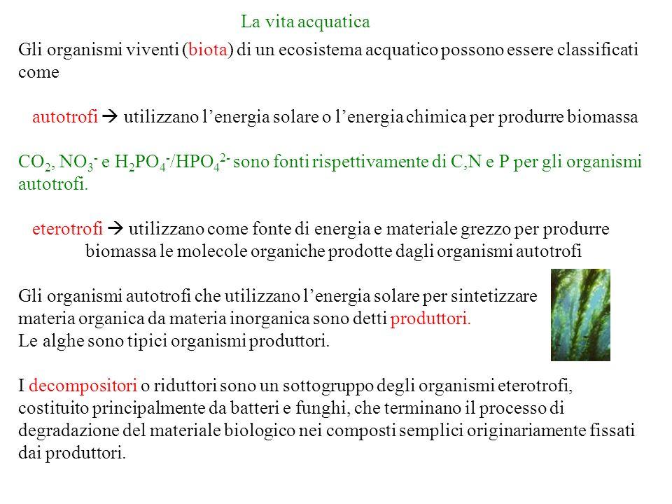 La vita acquatica Gli organismi viventi (biota) di un ecosistema acquatico possono essere classificati come autotrofi utilizzano lenergia solare o lenergia chimica per produrre biomassa CO 2, NO 3 - e H 2 PO 4 - /HPO 4 2- sono fonti rispettivamente di C,N e P per gli organismi autotrofi.