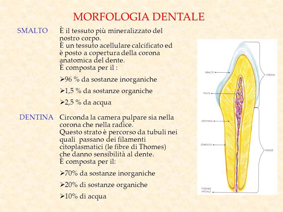 MORFOLOGIA DENTALE SMALTOÈ il tessuto più mineralizzato del nostro corpo. È un tessuto acellulare calcificato ed è posto a copertura della corona anat