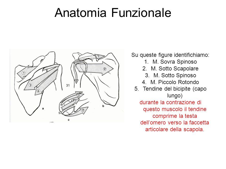 Anatomia Funzionale Su queste figure identifichiamo: 1.M.