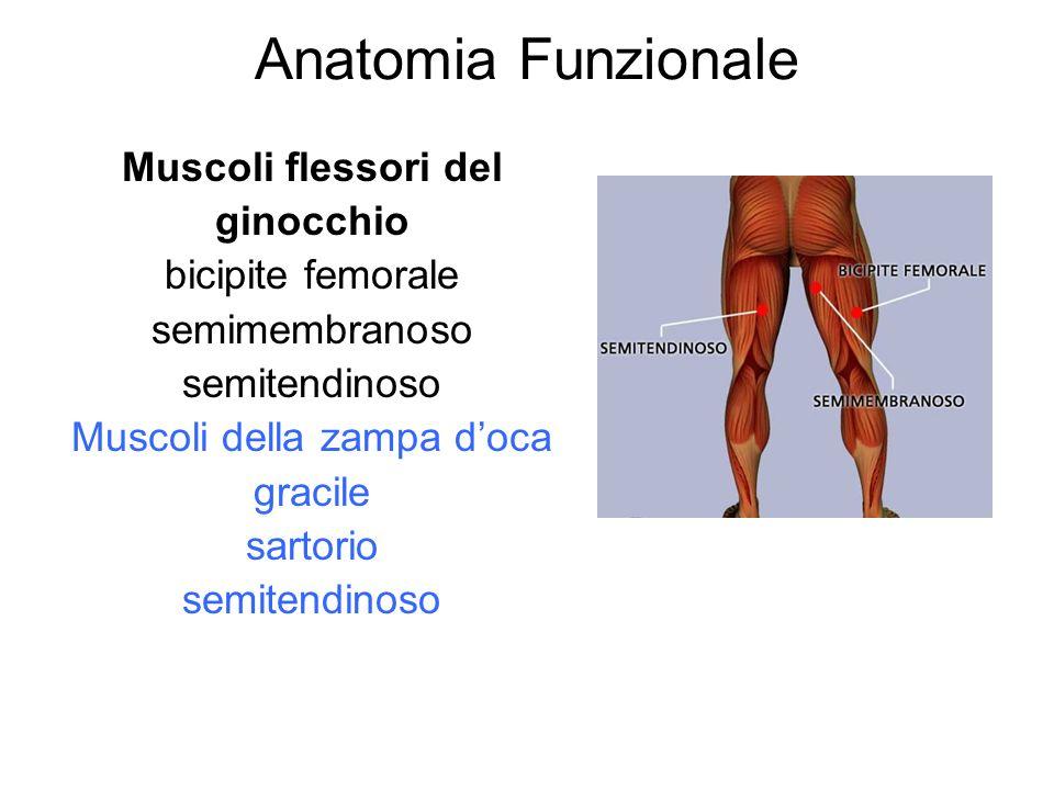 Anatomia Funzionale Muscoli flessori del ginocchio bicipite femorale semimembranoso semitendinoso Muscoli della zampa doca gracile sartorio semitendin