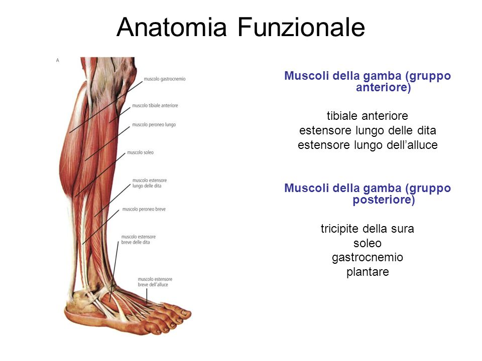 Anatomia Funzionale Muscoli della gamba (gruppo anteriore) tibiale anteriore estensore lungo delle dita estensore lungo dellalluce Muscoli della gamba (gruppo posteriore) tricipite della sura soleo gastrocnemio plantare