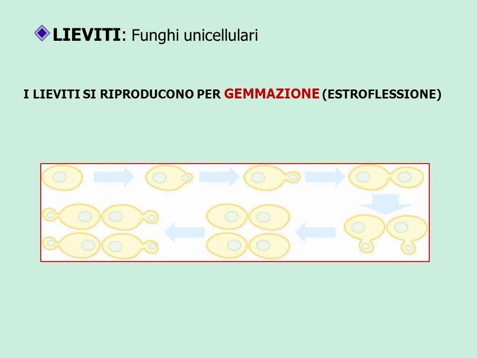 LIEVITI: Funghi unicellulari I LIEVITI SI RIPRODUCONO PER GEMMAZIONE (ESTROFLESSIONE)