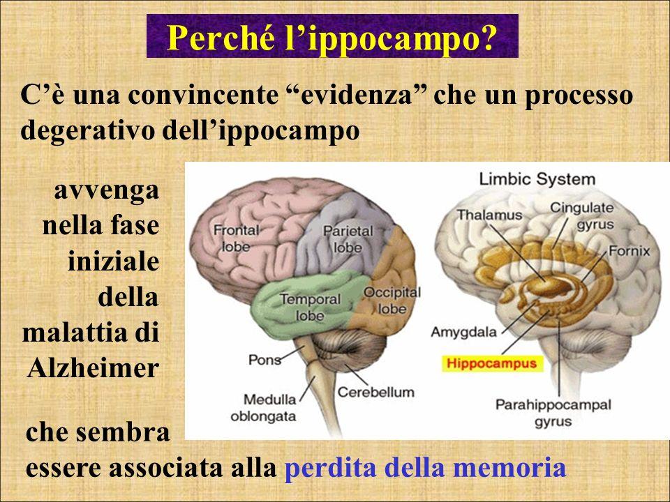 Perché lippocampo? Cè una convincente evidenza che un processo degerativo dellippocampo che sembra essere associata alla perdita della memoria avvenga