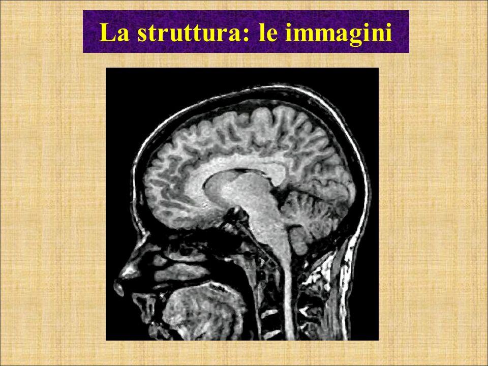 La funzione: la irrorazione sanguigna Source: Harrison et al. (2002). Cerebral Cortex.