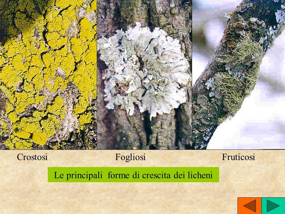 CrostosiFogliosi Le principali forme di crescita dei licheni Fruticosi